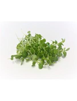 Bok Choy micro-greens, freshly cut