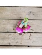 Organic White Turnip