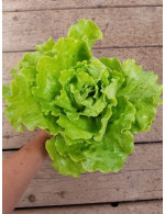 Organic muir lettuce